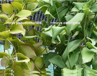листья хойи фото