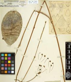 Hoya trigonolobos Schlechter, 1905